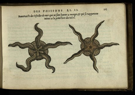 Day 15_Starfish from La nature et diversité des poissons, a handcoloured book by Pierre Belon printed in 1555 (Crewe 1.6)